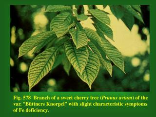 Fig. 581   Branch of a sour cherry tree ( Prunus cerasus ) with severe symptoms of Fe deficiency.
