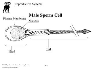 Male Sperm Cell