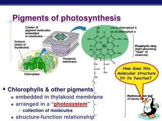 Pigments of photosynthesis