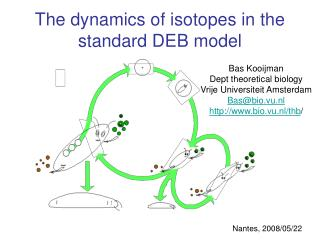 The dynamics of isotopes in the standard DEB model