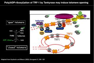 Poly(ADP-ribosyl)ation of TRF-1 by Tankyrase may induce telomere opening