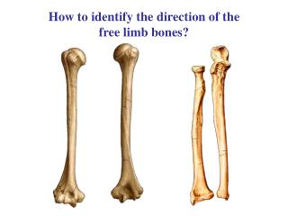 How to identify the direction of the free limb bones?