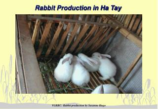 Rabbit Production in Ha Tay