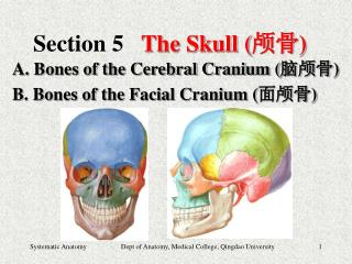 Section 5 The Skull ( 颅骨 )