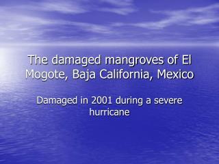 The damaged mangroves of El Mogote, Baja California, Mexico