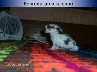 Reproducarea  la  iepuri