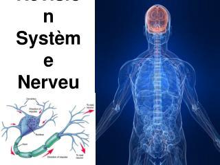 Révision Système Nerveux