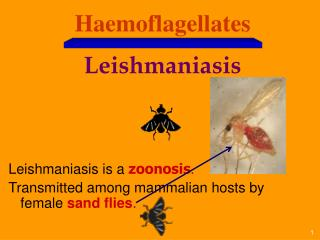 Haemoflagellates