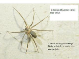 A rincon-pók megmar és mérge kioltja az életedet kevesebb, mint egy óra alatt...