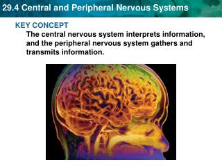 The nervous system's two parts work together.
