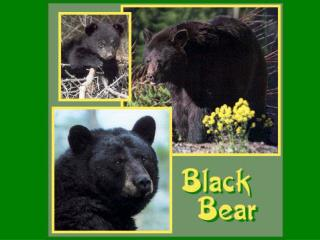 "Black Bear Ursus americanus Morphology: 60-65"" (4"" tail)"