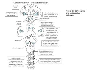 Corticospinal tract  –  corticobulbar tracts