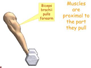 Muscles are proximal to the part they pull