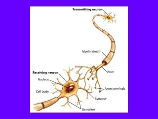 Brain Development Neurogenesis: Proliferation of neurons through cell division
