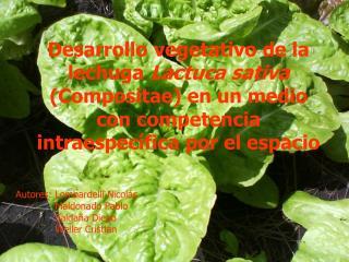Desarrollo vegetativo de la lechuga Lactuca sativa Compositae en un medio con competencia intraespec fica por el espacio