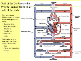 Goal of the Cardiovascular System:  deliver blood to all parts of the body
