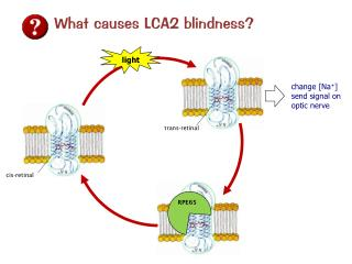 What causes LCA2 blindness?