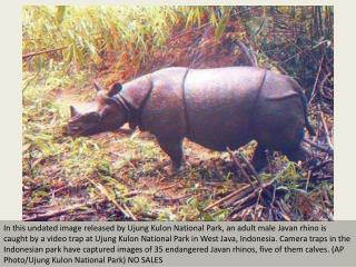 Camera captures rare Indonesian rhinos