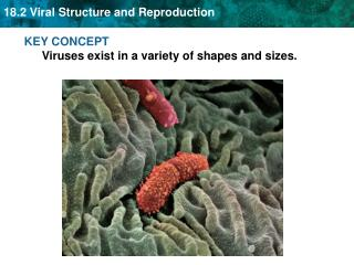 KEY CONCEPT  Viruses exist in a variety of shapes and sizes.