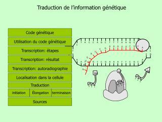 Traduction de l'information génétique