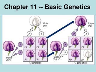 Chapter 11 -- Basic Genetics