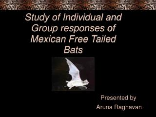Study of Individual and Group responses of Mexican Free Tailed Bats