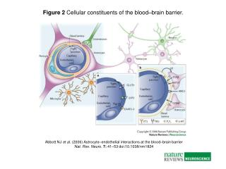 Abbott NJ  et al.  (2006) Astrocyte – endothelial interactions at the blood – brain barrier