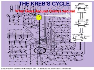 THE KREB'S CYCLE What Goes Around Comes Around