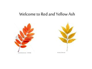 Welcome to Red and Yellow Ash