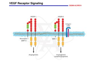 VEGF Receptor Signaling