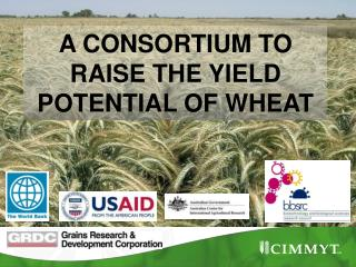 A CONSORTIUM TO RAISE THE YIELD POTENTIAL OF WHEAT