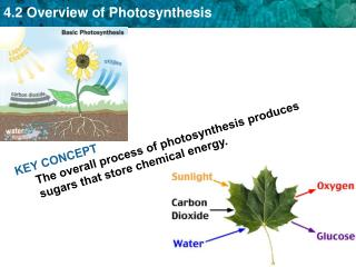 KEY CONCEPT The overall process of photosynthesis produces sugars that store chemical energy.