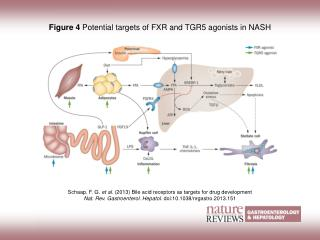 Figure 4  Potential targets of FXR and TGR5 agonists in NASH
