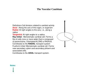 The Vascular Cambium