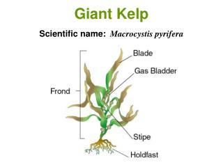 Giant Kelp Scientific name: Macrocystis pyrifera