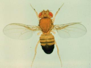 Drosophila melanogaster  development