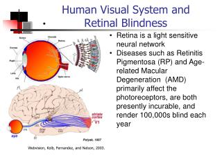 Human Visual System and  Retinal Blindness