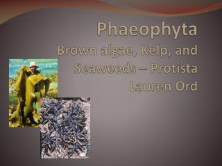 Phaeophyta Brown algae, Kelp, and Seaweeds –  Protista Lauren Ord
