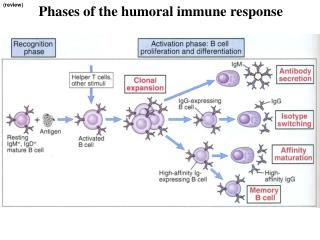 Phases of the humoral immune response