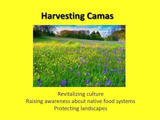 Harvesting Camas