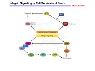 Integrin Signaling in Cell Survival and Death