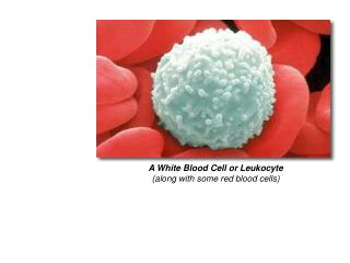 A White Blood Cell or Leukocyte (along with some red blood cells)