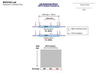Normal gene ( N- allele )