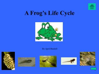 A Frog s Life Cycle