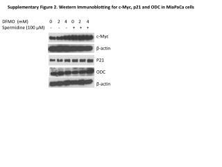 c- M yc β -actin P21 ODC β -actin