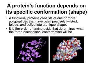 A protein's function depends on its specific conformation (shape)