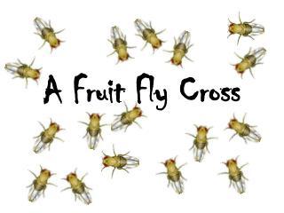 A Fruit Fly Cross