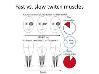 Fast vs. slow twitch muscles