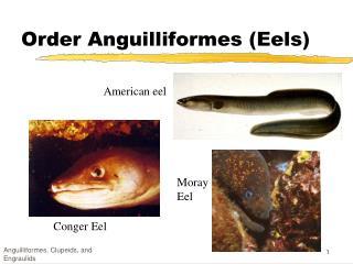 Order Anguilliformes (Eels)