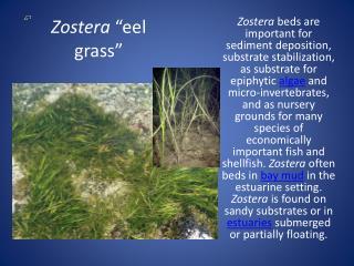 """Zostera  """"eel grass"""""""